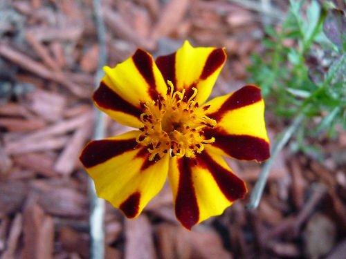 50 graines de calendula M. Majestic Marigold