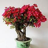 50 Piezas De Buganvillas Rojas Semillas De Plantas Ornamentales Hogar Jardín Jardín Bonsai Decoración