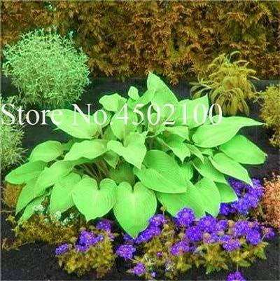Ponak Nuovo 200Pcs Hosta Coleus plantas fiori semi per bel verde giardinaggio