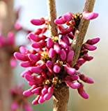 Chinesischer Judasbaum Avondale 40-60cm - Cercis chinensis