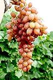 Vitis vinifera Kishmish Luchistyi | kernlos und langtraubig süße Rosé-Weintraube