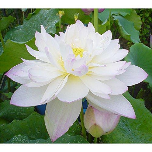 花はす[八重咲き系]:菊花粉[キッカフン]4.5号ポット[碗蓮][手乗りハス]