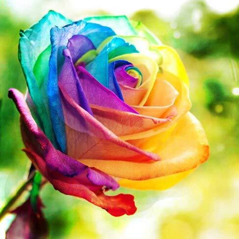 100PCS Fleur Rose Graine Hollande Graine Amoureux Cadeau Orange Vert arc-en-RARE Couleur 24 Bricolage choisir le jardinage Fleur 11