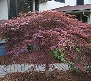 Inaba Shidare Weeping Laceleaf Japanese Maple - Live Plant - Trade Gallon Pot