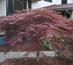 ruby falls redbud tree