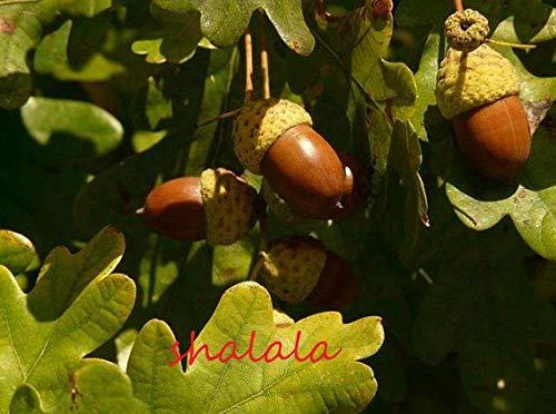 Ferry 5pcs Eiche immergrün schöner großer Baum zu Hause Gartenpflanzen Bonsai-Baum leicht nutural Zierpflanze zu wachsen: 1