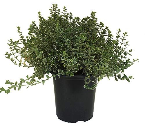 Premier Plant Solutions 53021 Wintercreeper (Euonymus Fortunei) Emerald Gaiety, 2 Gallon