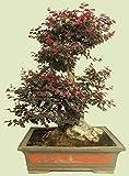 Loropetalum cinese var. Semi esotico bonsai piante rare rubrum 'daruma' -5 semi Vendiamo semi non solo la pianta. Il prezzo include funzioni customes Seeds è il pacchetto completo. Trasporto che a livello internazionale