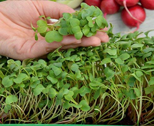 Microgreens - Ravanello rosso - foglie giovani dal sapore unico - semi