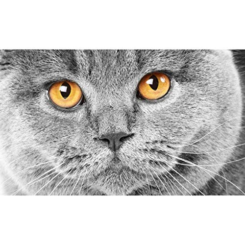 ZHONGYU Paint By Numbers For Adults,Diy Oil Painting Number Serious Grey Cat Canvas Painting For Adults Kids Beginner,Home Decoration(40 * 50CM)