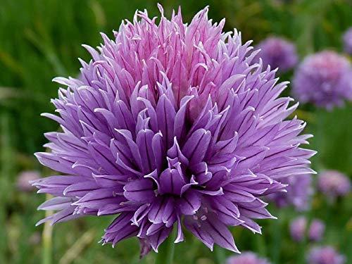 50 semi di erba cipollina (Allium Schoenoprasum)