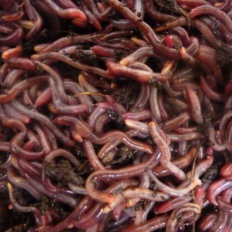 Kompostwürmer 500g, Gartenwürmer, Regenwürmer in 1 kg transportsubstrat