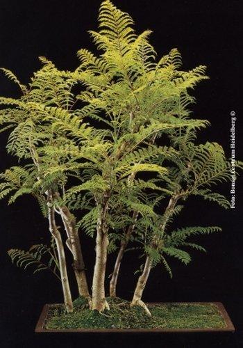 TROPICA - Jacarandá (Jacaranda mimosafolia) - 50 semillas- Bonsai