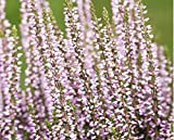 Calluna vulgaris Besenheide Sommerheide Knospenblüher Gardengirls im 11 cm Topf verschiedene Sorten (20, Hilda - violett)