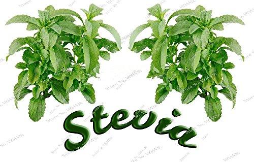 200 graines de Stévia réel Herb chinoise verte Herb rebaudiana Semillas Pour Garden Plantation Bonsai