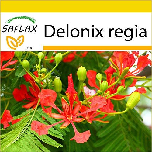 SAFLAX - Anzucht Set - Flammenbaum - 6 Samen - Mit Mini-Gewächshaus, Anzuchtsubstrat und 2 Töpfen - Delonix regia
