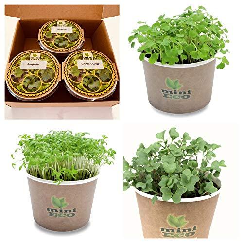 MiniEco Cresson de Jardin Roquette et Brocoli Micro-pousses Graine à Germer Bio. Plantules Grandir Cultiver Croissante Légume Végétal Germes Microgreens