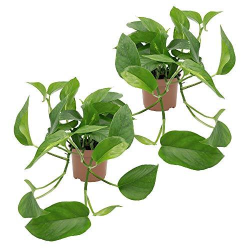 Dominik Blumen und Pflanzen, Efeutute, Epipremnum aureum, 2 Pflanzen, Zimmerpflanzen, rankend, Ampelpflanzen