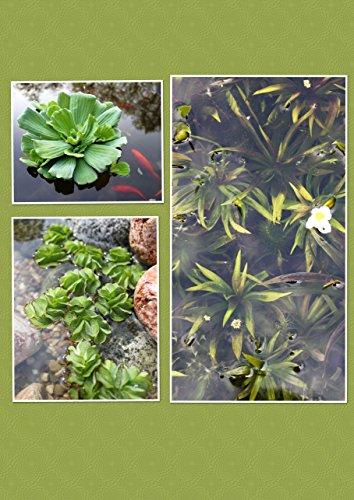 Schwimmpflanzen Set - Salvinia natans/Stratiotes aloides/Pistia stratiotes - Wasserpflanzen Wolff