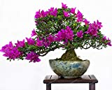 getso 100 pz crape mirto - lagerstroemia indica 'natchez' perenne fiore bonsai cortile myrtle fiori giardino della casa vaso da fiori: 8