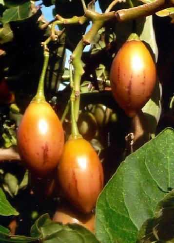 Tropica - Tomaten - Tamarillo (Cyphomandra betacea) - 100 Samen - Baumtomate