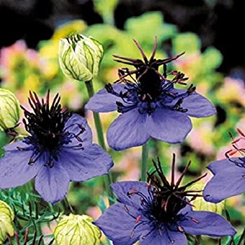PAPCOOL Nigella Midnight Blue Flówer SẸẸDS/Papillosa/Annual 100+ Sẹeds for Plạnting