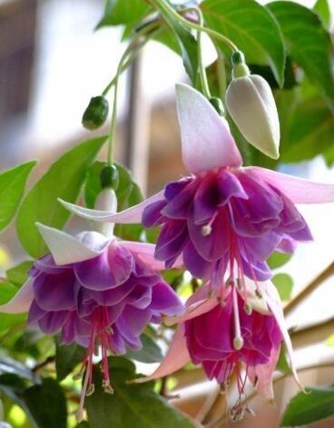 lanternes Fuchsia / fleurs / graines de fleurs d'intérieur balcon salon / Begonia de Bell pot graines de fleurs 100 graines 9