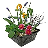 Mini Teichpflanzen Set - Multi - 1 rote Seerose, 1 Sauerstoffpflanze und 2 Wasserpflanzen inklusive Teichkorb. - Einfach und schnell Ihren eigenen Miniteich - Van der Velde Wasserpflanzen