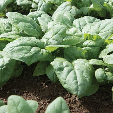 David's Garden Seeds Spinach Kolibri 4448 (Green) 500 Non-GMO, Hybrid Seeds