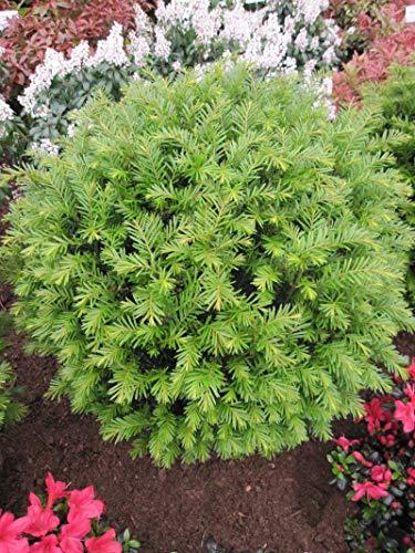 Taxus baccata 'Renkes Kleiner Grüner' (R) - Garteneibe 'Renkes Kleiner Grüner' (R) 30-40
