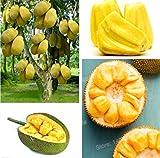 AGROBITS 10 Pcs frais jacquier graines de fruits d'arbres tropicaux rares semences arbre géant