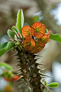 Rạre Euphorbia Hofstaetteri Exotic Madagascar Succulent Bónsai SéẹD 5 SéẹDs Seeds_Easy_Grow