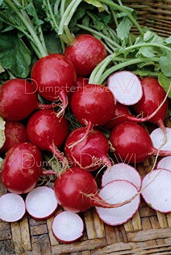 Champion Radis 200+ Organic Seeds 28 jours avant la récolte et grande Crisp non-OGM