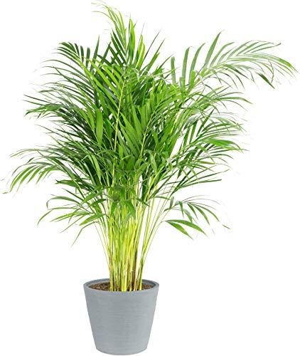 Palmier | Plante verte | Plante intérieur | Hauteur 100 cm | Pot 21 cm | Avec cache pot pierre bleu ECOPOT | Areca dypsis lutescens