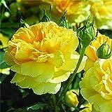Pfingstrose Primevere Paeonia Lactiflora/ Gelb Rarität/Staudenkulturen Wauschkuhn/ Paeonia lactiflora/ Chinesische pfingstrose-2Rhizome