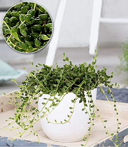 BALDUR-Garten Erbsenpflanze