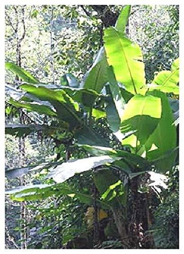 TROPICA - Bananier de l'Himalaya (Musa sikkimensis syn. M. hookeri) - 5 graines- Résistant au froid