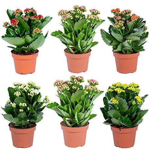 Kalanchoe | Gemischt pro 6 Stück - Außen- und Innenpflanze im Aufzuchttopf ⌀12 cm - 25-30 cm