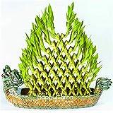 2014 Venta Rushed árbol Seedsbonsia mixtos 20 semillas bambú de la suerte, Balcón maceta,...