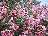 pianta di oleandro a cespuglionerium oleander in vaso ø20 cm h.80/100 cm