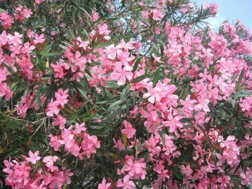 Oleandro a cespuglio'Nerium Oleander' pianta in vaso ø18 cm h. 80/100 cm