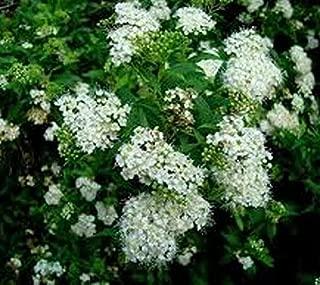 Bridal Wreath (Reeves) Spirea Japonica - Live Plant - Trade Gallon Pot