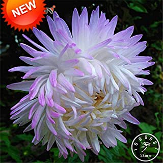 WANCHEN New Fresh Seeds 100 Pcs/Pack White Purple Callistephus Chinensis Flower Seeds Balcony Potted Bonsai Seeds Aster Seed,#5R89P7