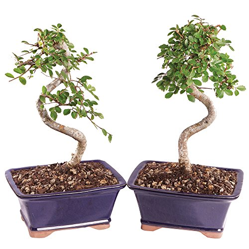 Brussel's Live Chinese Elm Outdoor Bonsai Tree (2 Pack) - 5 Years Old; 6' to 8' Tall with Decorative Container