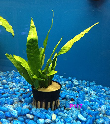 Buy2get1free,same plant Java Fern, Microsorum Pteropus Potted Plant Ps117, Live Aquarium Plant