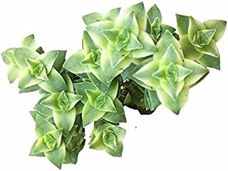 Variegated String of Buttons Crassula (2 inch)