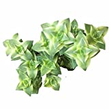 Variegated String of Buttons Crassula (4 inch)