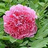 3 Piezas Peonía Bulbos Rizoma De Peonías De Color Rosa Oscuro Fragante Fácil De Plantar Hermosas Flores De Arbusto Para Decoración De Jardín De Balcón