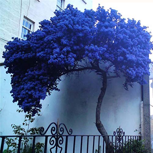 Xianjia Garten - 100 Stück Blauglockenbaum Samen Paulownia Samen, Baum duftende Blüten Mehrfarben Blumen winterhart mehrjährig Paulownia Baum für Garten (5)