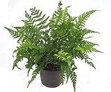 Schmaler Schildfarn- Polystichum tsus-simense winterharter, wintergrüner, Farn 12 cm Topf als Kübelpflanze Balkonpflanze, Schattenpflanze Beetpflanze